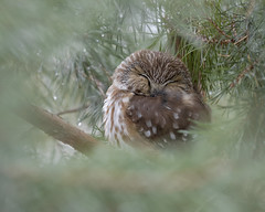 Sleepy Saw-whet (ayres_leigh) Tags: bird owl sawwhet canon 90d whitby ontario nature sleeping wildlife pinetree birdofprey animal wild