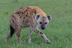 Wary Hyaena (Hector16) Tags: olaremotorogi motorogiconservancy kenya wildlife 2019 massaimara masaimara siana narokcounty crocutacrocuta