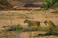 Lions playing in South Africa (` Toshio ') Tags: toshio southafrica africa lion animal mammal playing tail riverbed krugernationalpark wildlife nature canon7d canon 7d