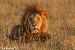 One Handsome Gentleman (Greg Taylor Photography) Tags: lion kenya africa safari masaimara august male