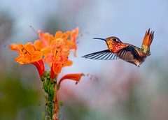 Lovin' Orange (Patricia Ware) Tags: allenshummingbird birdsinflight california canon ef400mmf4doisiiusmlens kennethhahnrecreationalarea losangeles monopod selasphorussasin ©2020patriciawareallrightsreserved specanimal