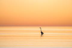 Sundial (gseloff) Tags: greatblueheron bird wader wading water reflection sunrise nature wildlife gulfofmexico bolivarflats ocean lowtide bolivarpeninsula texas gseloff