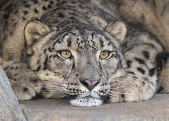 Naphisa, Settling In (Penny Hyde) Tags: bigcat leopard sandiegozoo snowleopard
