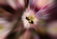 Zooming bee (ashokboghani) Tags: bee flowers losangelescountyarboretum california photoshop blur zoom photoshopart digitalart digitalpainting