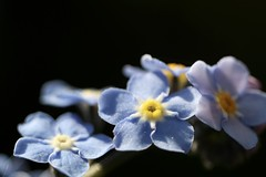 Myosotis      Boyer Paris Saphir 85 mm F 4.5 (情事針寸II) Tags: ngc macrodreams flowerscolors light bokeh tessar oldlens macro nature wildflower forgetmenot boyerparissaphir85mmf45