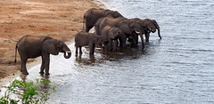 Elephants in the river (RJAB2012) Tags: botswana chobe elephant zambezi river water africa herd trave