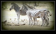 Zebra at a dry Waterhole (Pixi2011) Tags: zebra wildlife krugernationalpark southafrica africa wildlifeafrica wildanimals animals nature
