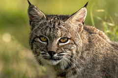 BobCat (Thy Photography) Tags: coyotevalleyopenspace bobcat animal wildlife california bird backyard nature outdoor photography sunrise sunset sunshine sanfranciscobayarea sonya9 sonya7rm4 sonya9ii fe600mmf4gmoss fullframe cat wildcat sycamoregrovepark sanbenitocounty pointreyesnationalseashore livermore edlevin coyotelake