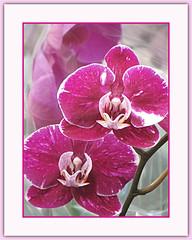 Orchid Magic (bigbrowneyez) Tags: orchids gorgeous magic magical beauty macro striking fabulous magenta fiori belli bellissmi fleurs petals delicate lovely romantic flickr charming delightful precious exquisite fantastic stunning frame cornice nature natura colourful bright orchidmagic textures kiss bacci besos