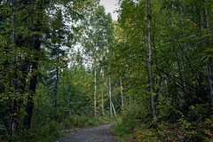 Meandering Amongst the Forest (Chena River State Recreation Area