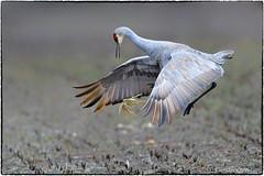 The Corn Toss (RKop) Tags: ewingbottoms indiana raphaelkopanphotography nikon nature birds d500 600mmf4evr action crane sandhill dance
