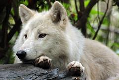 hudsonbay wolf artis BB2A0043 (j.a.kok) Tags: animal artis wolf mammal zoogdier dier predator hudsonbaywolf canislupushudsonicus amerika america arctic arcticwolf