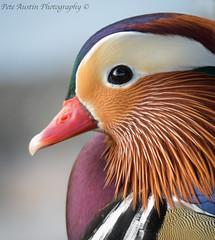 """Mandarin Duck"" (EXPLORED) (pedro2324) Tags: mandarin duck bird wildlife feathers plumage colourful colour beak bill creature plymouth devon saltram cute"