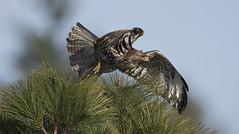 We have liftoff! (woodwindfarm) Tags: red tailed hawk flight bif