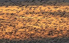 Snow Geese at Sunset (Ruby 2417) Tags: goose geese bird wildlife nature flock flight fly flying sunset sky clouds gray lodge sillouette