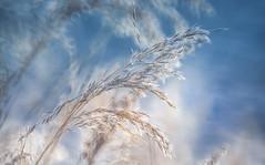 Riverside grass (Dhina A) Tags: sony a7rii ilce7rm2 a7r2 a7r minolta rf rokkorx 250mm f56 mirror reflex minolta250mmf56 md prime rokkor bokeh manualfocus lens riverside grass