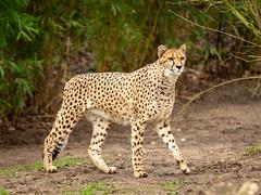 Cheetah (Future-Echoes) Tags: 4star 2020 animal bigcat cat cheetah colchesterzoo spots