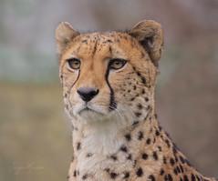 Portrait. (JurgenMaassen) Tags: acinonyxjubatus cheetah jachtluipaard gepard colognezoo kölnerzoo panasonicdcg9 leica leicadg100400f4063 lumix panasonic zoo