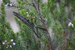 Una mantis en el brezo (esta_ahi) Tags: masdencoll mantisreligiosa mantis mantidae mantodea insectos fauna santmartísarroca penedès barcelona spain españa испания erica multiflora ericamultiflora ericaceae brezo