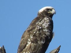 Wahlberg's Eagle  ( juvenile )  /  Wahlberse Arend  ( onvolwasse ) (Pixi2011) Tags: birdsofprey birds krugernationalpark southafrica africa wildbirds nature