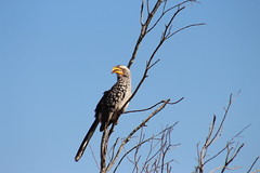 Yellow - Billed Hornbill (Rckr88) Tags: yellow billed hornbill yellowbilledhornbill animals animal bird birds travel travelling trees tree nature naturalworld outdoors krugernationalpark southafrica kruger national park south africa