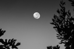 figs, olives and a beautiful moon... (Tony Macrellis) Tags: moon lunar figs olives leaves blackandwhite heritage myfatherplantedthatolivetree myfatherslegacy mybackyard home figtree olivetree