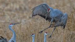 first impressions... (Paul McGoveran) Tags: bif bird birdinflight longpoint nature nikon500mmf4 nikond850 norfolkcounty sandhillcrane wings