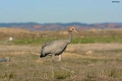 Grulla comun (r.naranjogasco) Tags: grulla grusgrus fuentes claras avifauna ornitologia turiahides naturaleza teruel aves