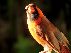 Hello (thomasgorman1) Tags: bird cardinal northern molokai birds visitor red nature looking canon hawaii wildlife