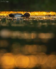 Red crested pochard in golden hour (soumen608) Tags: westbengal purbasthali birds birdphotography bird nature naturephotography birdsofinstagram wildlifephotography wildlife birdwatching birding best photography animal canon ig animals of about your nuts birdlife brilliance perfection bestbirdshots naturelovers captures eye nikon spy bhfyp bear rock water river grass sky ngc tree redavadavat pochard redcrestedpochard