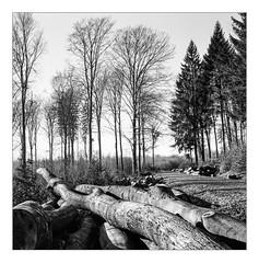 Wood harvest (werner-marx) Tags: analog film meinfilmlab mediumformat superikonta superikontab superikonta53216 zeissopton tessar zeissoptontessar kellamsee forest trees woodharvest