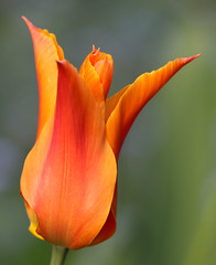 Looking Back ... (AnyMotion) Tags: tulpe tulip tulipa blossom blüte bokeh 2019 floral flowers blumen plants pflanzen anymotion frankfurt garden garten spring frühling primavera printemps natur nature colours colors farben orange red rot yellow gelb 7d2 canoneos7dmarkii