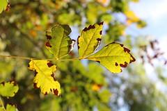 Καλημέρα! ~ Good morning! :-) (Argyro Poursanidou) Tags: leaf leaves light nature flora autumn colorful green foliage bokeh