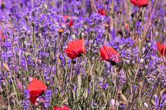 P1140535 (alainazer) Tags: simianelarotonde provence france fiori fleurs flowers fields champs colori colors couleurs coquelicot poppy papavero lavande lavanda lavender