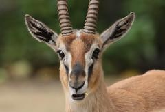 Thomsongazelle artis BB2A0332 (j.a.kok) Tags: animal artis africa afrika mammal zoogdier dier gazelle antilope thomsongazelle