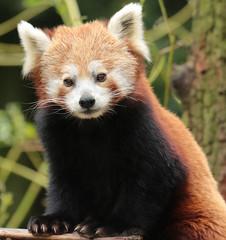 red panda artis BB2A0296 (j.a.kok) Tags: animal artis panda redpanda rodepanda kleinepanda mammal zoogdier dier asia azie china