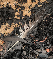 Feather (caralan393) Tags: bushfire beach ash stilllife