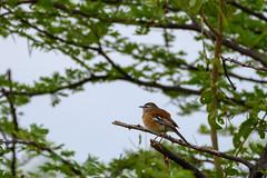 Red-backed Scrub-Robin (chlorophonia) Tags: birds animals vertebrates muscicapidae redbackedscrubrobin animalia cercotrichasleucophrys oldworldflycatchers oshikotoregion namibia
