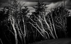 I've been feeding the rhythm (.KiLTЯo.) Tags: kiltro cl chile magallanes patagonia tierradelfuego trees road lenga clouds nature landscape dark contrast bw blackandwhite