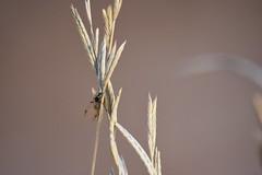 Hormiga alada (esta_ahi) Tags: masdencoll hormigaalada formicidae hymenoptera insectos fauna santmartísarroca penedès barcelona spain españa испания