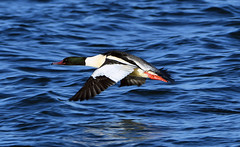 GOOSANDER at GRAFHAM WATER (11birdman11) Tags: birds britishbirds butterflies bugs moths mammals