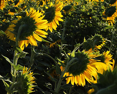Sun Flowers - Provence - France (lotusblancphotography) Tags: nature plantes plants flowers fleurs tournesols sunflowers france provence