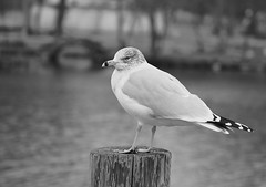 Seagull on a gray day! (ineedathis, Everyday I get up, it's a great day!) Tags: ringbilledgull seagull larusdelawarensis bird avian blackandwhite monochrome park post heckscherpark longisland newyork winter closeup nikond750