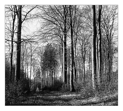 Beech forest in winter (werner-marx) Tags: analog film meinfilmlab mediumformat superikonta superikontab superikonta53216 zeissopton tessar zeissoptontessar kellamsee forest beechtrees trees