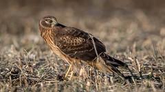 A rare opportunity! (flintframer) Tags: northern harrier raptors dattilo birds indiana jackson county nature wildlife canon 7d markii ef600mm