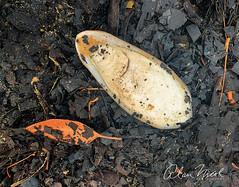 Cuttlefish (caralan393) Tags: bushfire beach ash stilllife