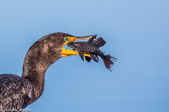 Double Crested Cormorant (Linda Martin Photography) Tags: circleb usa doublecrestedcormorant nature bird wildlife animal phalacrocoraxauritus plecostomus florida coth coth5 alittlebeauty ngc specanimal naturethroughthelens npc