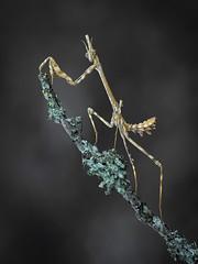 Rey de la noche (emepé) Tags: nature naturaleza mantispalo macrofotografía macro empusapennata