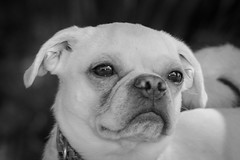 Bootsie (Cruzin Canines Photography) Tags: pug dogs bakersfield animal dog monochrom canine portrait outdoors blackandwhite cute pet pets outside animals