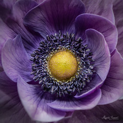 Anemone (Magda Banach) Tags: nikond850 anemone colors delicacy delicate flora flower macro nature plants subtlety violet yellow